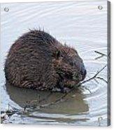 Beaver Chewing On Twig Acrylic Print