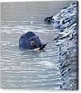 Beaver Chews On Stick Acrylic Print