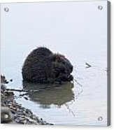 Beaver In The Shallows Acrylic Print