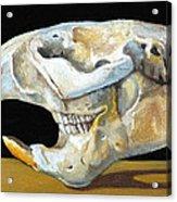Beaver Skull 1 Acrylic Print