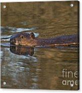 Beaver Swimming Acrylic Print