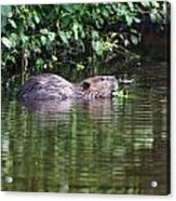 beaver swims in NC lake Acrylic Print