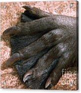 Beavers Hind Foot Acrylic Print