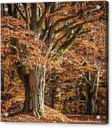 Bech Tree With Red Foliage Acrylic Print