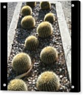 Bed Of Barrel Cacti  Acrylic Print