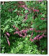 Bed Of Bleeding Hearts Acrylic Print