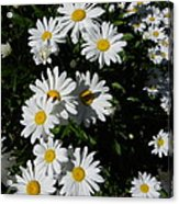Bed Of Daisies Acrylic Print