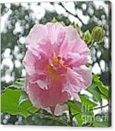 Bedazzled By The Light Louisiana Confederate Rose Acrylic Print