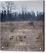 Bedded Whitetail Deer Acrylic Print