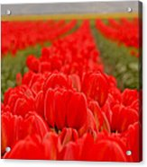 Beds Of Red Acrylic Print