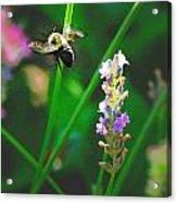 Bee 6 Acrylic Print