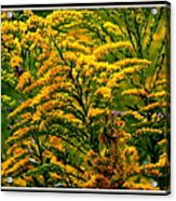 Bee And Goldenrod Acrylic Print