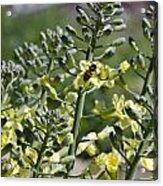 Bee And Pollen Acrylic Print