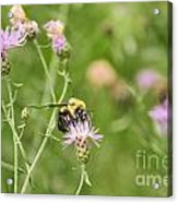 Bee And Thistle Acrylic Print