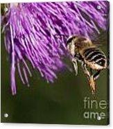 Bee Butt Acrylic Print