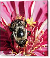 Bee Close Up On Pinkish Red Flower Acrylic Print