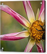 Bee Enjoying A Willie Willie Dahlia Acrylic Print