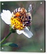 Bee- Extracting Nectar Acrylic Print