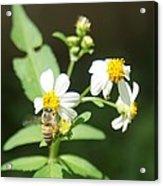 Bee-flower Pollen Acrylic Print