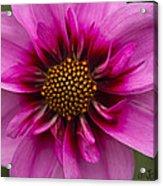 Bee Happy Dahlia Acrylic Print
