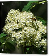 Bee Hovering Over Rowan Truss - Featured 3 Acrylic Print