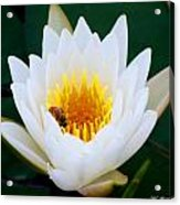 Bee In A Lily  Acrylic Print