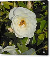 Bee In A White Rose Acrylic Print by Kay Gilley