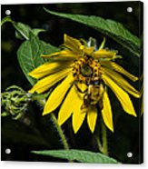 Bee In A Wild Flower Acrylic Print