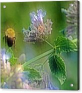 Bee In Catmint Acrylic Print