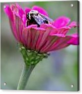 Bee In Pink Flower Acrylic Print