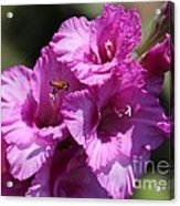 Bee In Pink Gladiolus Acrylic Print