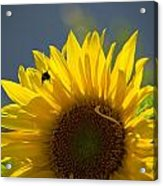 Bee In Sunflower Acrylic Print