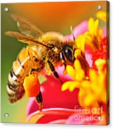 Bee Laden With Pollen 2 By Kaye Menner Acrylic Print