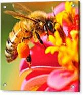 Bee Laden With Pollen Acrylic Print