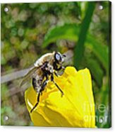 Bee Mimic On Primrose Acrylic Print