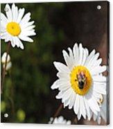 Bee On A Daisy 2 Acrylic Print