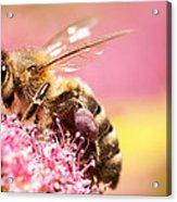 Bee On A Flower Acrylic Print