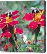 Bees On A Marigold 4 Acrylic Print