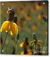 Bee On A Mexican Hat  Acrylic Print