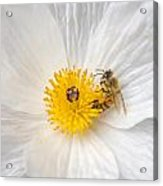 Bee On A Poppy Acrylic Print