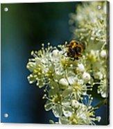 Bee On A Rowan Flower - Featured 3 Acrylic Print