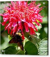 Bee On Bee Balm Flower Acrylic Print
