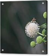Bee On Buttonbush Acrylic Print