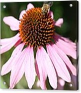 Bee On Coneflower Acrylic Print