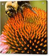 Bee On Coneflower Acrylic Print