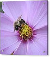 Bee On Cosmos Acrylic Print