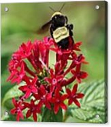 Bee On Flower Cluster Acrylic Print