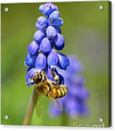 Bee On Grape Hyacinth Acrylic Print