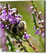 Bee On Heather Acrylic Print