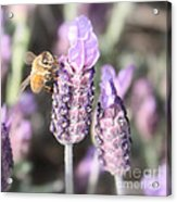 Bee On Lavender Square Acrylic Print